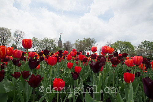 SOOC Parliament through red tulips