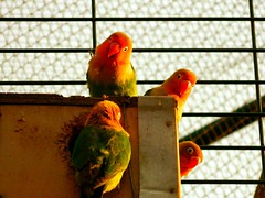 atlantic canary(0.0), canary(0.0), lorikeet(0.0), animal(1.0), lovebird(1.0), parrot(1.0), yellow(1.0), red(1.0), pet(1.0), fauna(1.0), finch(1.0), beak(1.0), bird(1.0),