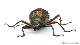 Belize darkling beetle 2