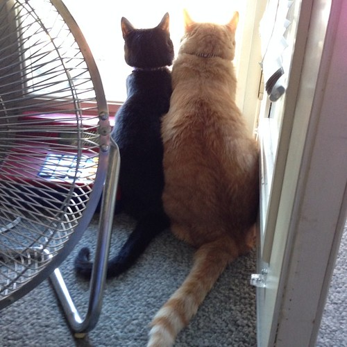 Birdwatchers. Hard to believe they're littermates. #cats #catsofinstagram #foodcatspens