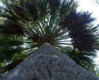 View up a perfectly straight cabbage palm