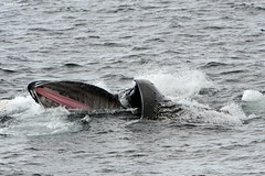 Whale Tongue