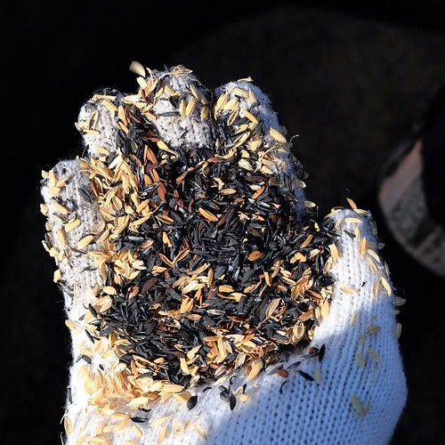 籾殻炭を作成中。灰にならずに、形を残したまま炭にするには、酸素をカットして蒸し焼き状態にすること。 #なんと #南砺 #富山県