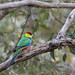 Red-capped Parrot (Purpureicephalus spurius) by Ian Colley Photography