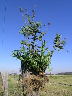 Verbena bonariensis plant1