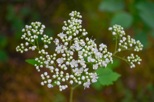 <p><i>Spiraea betulifolia</i>, Rosaceae<br /> Whippoorwill Point, Harrison Hot Springs, British Columbia, Canada<br /> Nikon D5100, 18-55 mm f/3.5-5.6<br /> June 9, 2013</p>