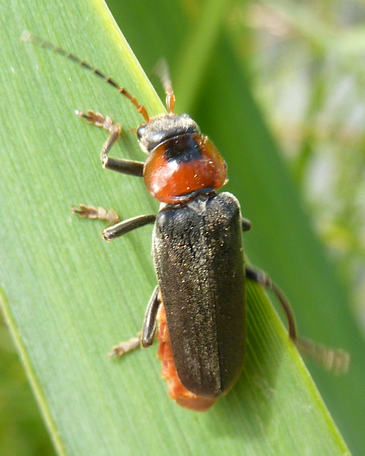 Sailor Beetle - Cantharis fusca 1f