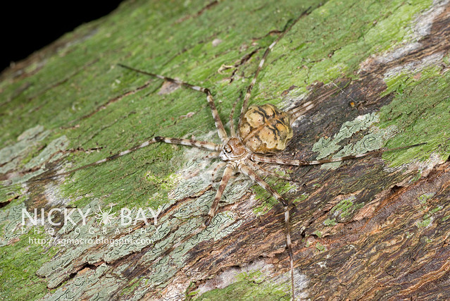 Two-Tailed Spider (Hersiliidae) - DSC_7213