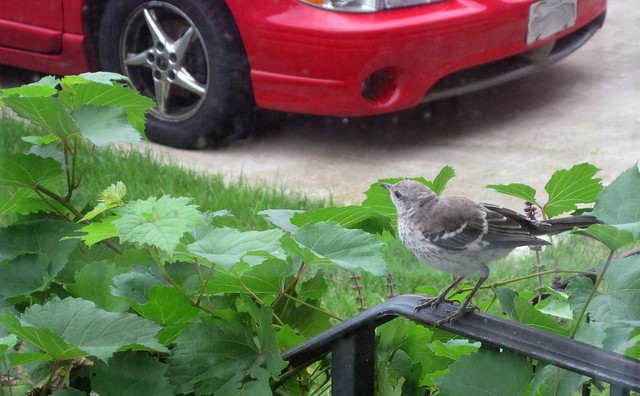 Juvie catbird sits on the porch railing covered in grape vine