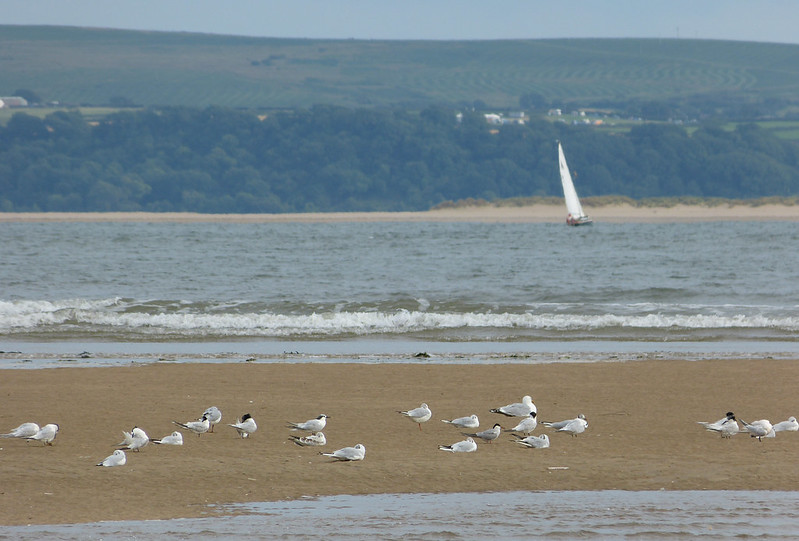 P1050949 - Sandwich and Common Terns, Burry Port