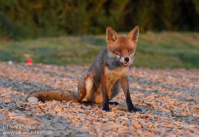 red fox_-12