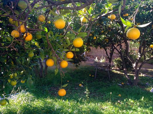 magical oranges