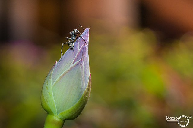 Ant on a Water Lily Bud