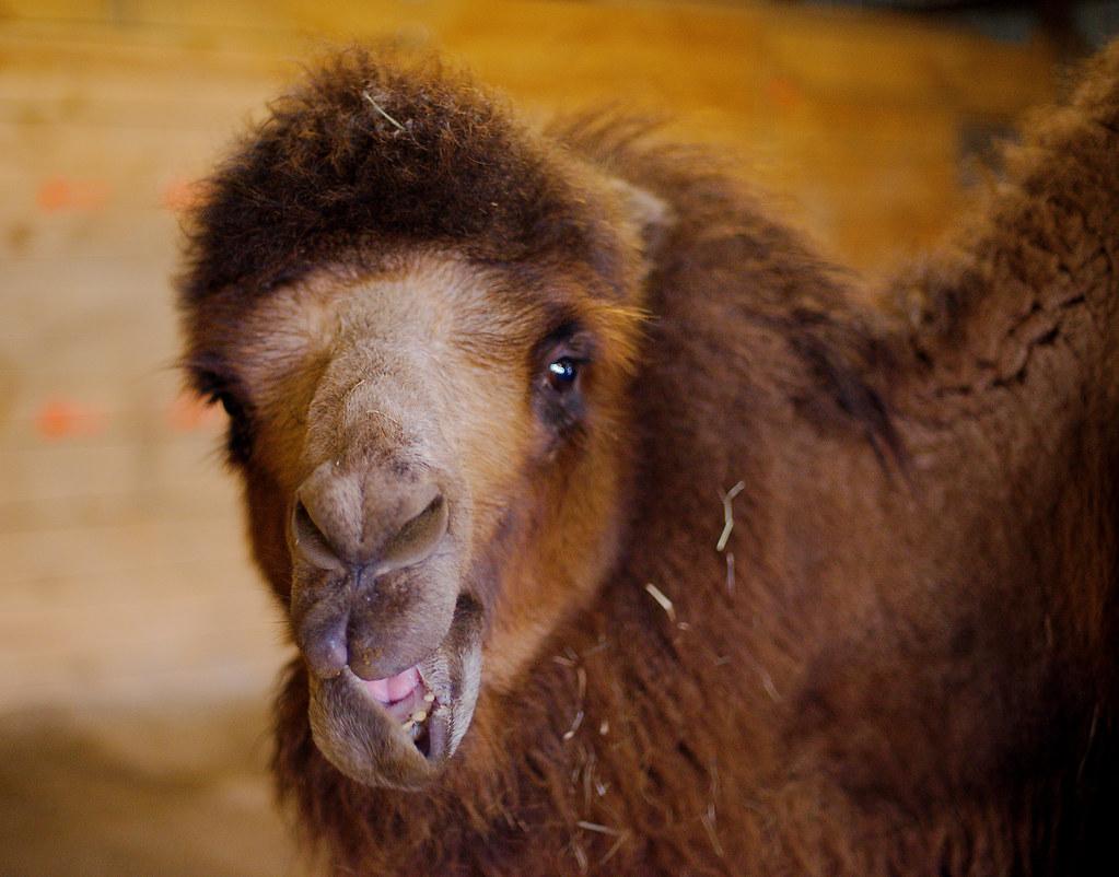 Bactrian Camel (Camelus bactrianus)_20