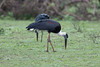 Woolly-necked Stork (Padili Manawa) by SameeraMJ