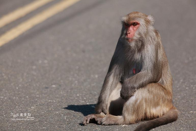 台南私藏景點-南化烏山獼猴 (19)