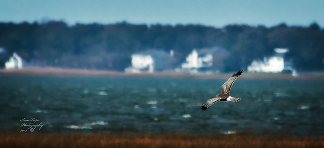 Northern Harrier Hunting_Male