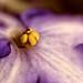 African Violet by GFletch -- persistently behind :)