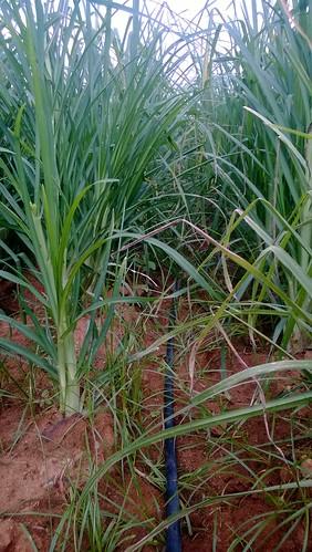 kolar ragi dripirrigation