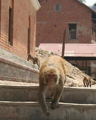 Małpy w Kathmndu