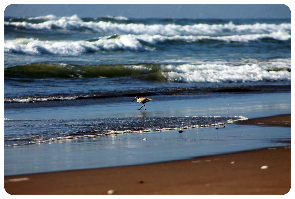 la serena ocean bird chile