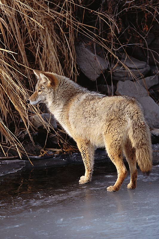 Wildlife in British Columbia, Canada: Coyote