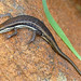 Variable Skink - Photo (c) Bernard DUPONT, some rights reserved (CC BY-NC-SA)