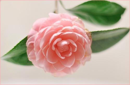 Camellia(山茶花)