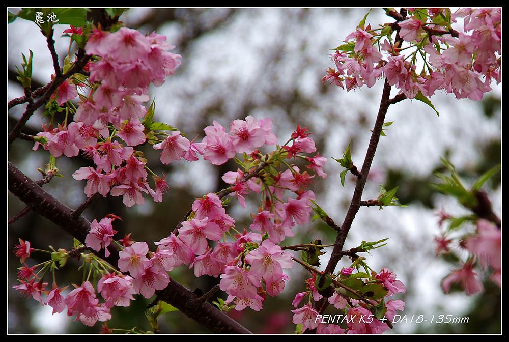 被太座嫌看了頭暈的照片--新竹麗池櫻花