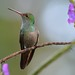 Rufous-tailed Hummingbird's Red Bill by Odonata457