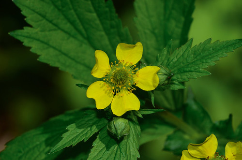 <p><i>Geum macrophyllum</i>, Rosaceae<br /> Burnaby Mountain Conservation Area, Burnaby, British Columbia, Canada<br /> Nikon D5100, 105 mm f/2.8<br /> May 11, 2014</p>