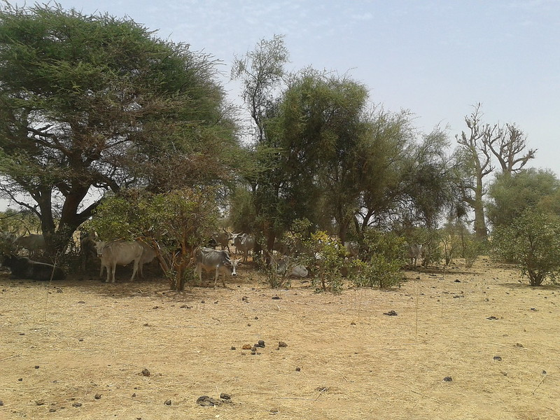 Cows shelter themselves against the scorching midday sun, Niassante, Senegal