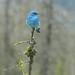 Mountain Blue by ebirdman