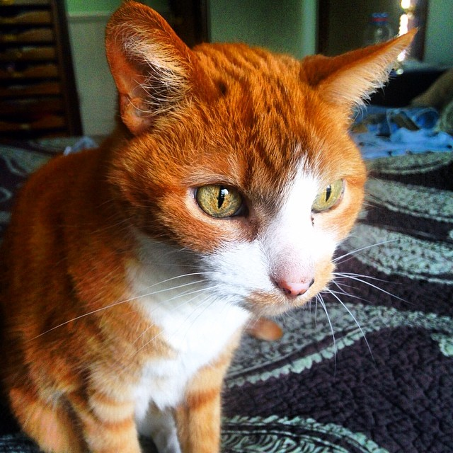Rubio the #orange #cat
