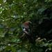 Small photo of The Eurasian jay