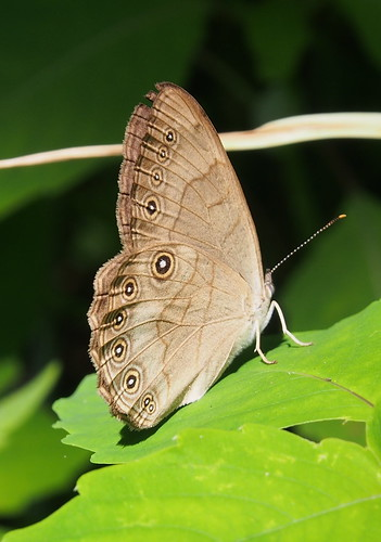 Appalachian Brown Satyrodes appalachia