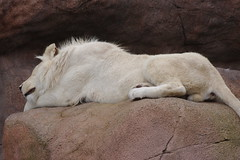 animal, lion, mammal, fauna, wildlife,