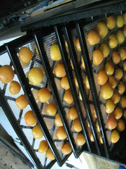 apricots on the racks