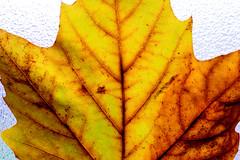 Autumn leaf yellow brown