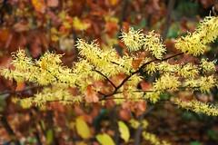 Hamamelis virginiana (witch hazel) in bloom, National Herb Garden