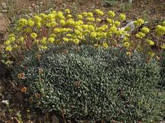 mat buckwheat, Eriogonum caespitosum