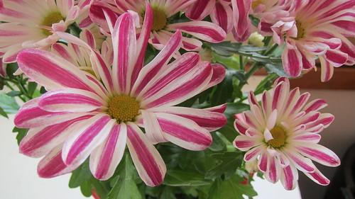 Chrysanthemum Indicum Grp Robinho by Anna Amnell