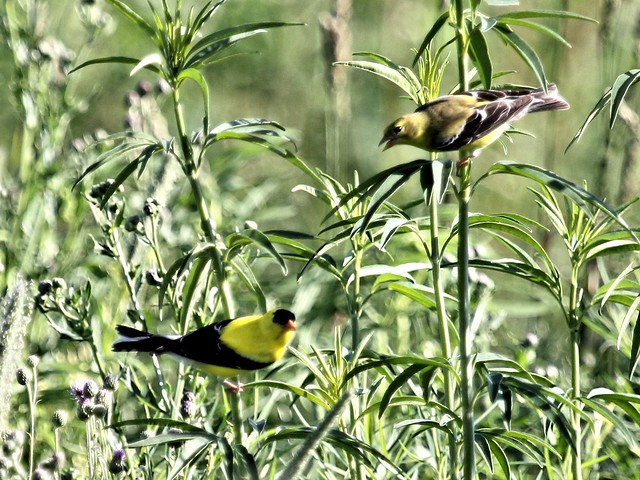 American Goldfinches 20130628