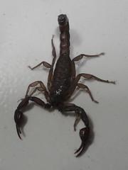 arthropod, animal, scorpion, invertebrate, fauna,