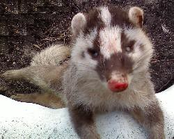 台大獸醫學院在死亡鼬獾體內驗出疑似狂犬病毒。(圖為健康的鼬獾,圖片來源:玉山國家公園)
