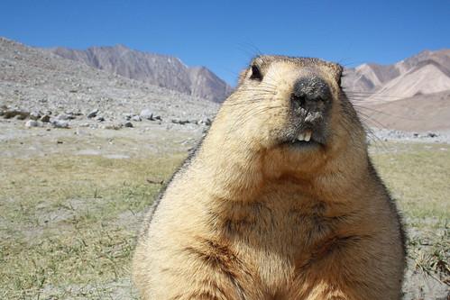 Close Up Marmot by saish746