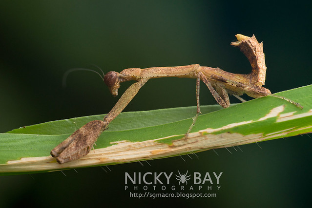 Praying Mantis (Acromantis sp.) - DSC_9445