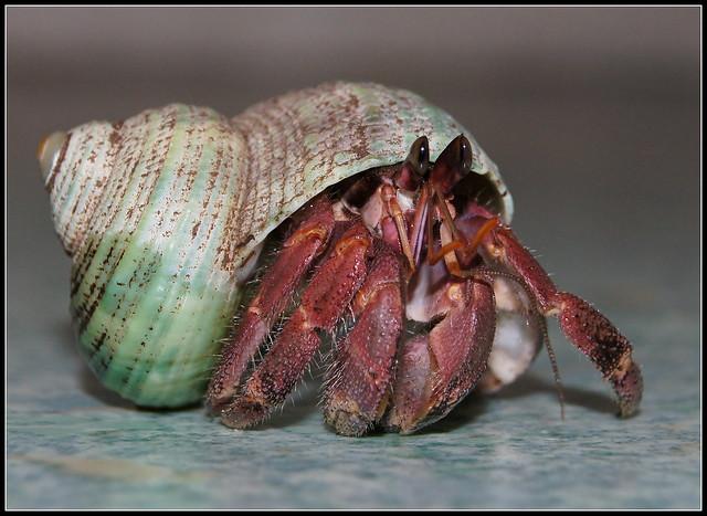 Coenobita rugosus