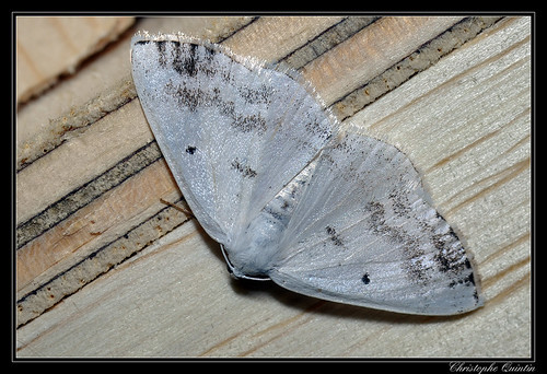 Phalène satinée (Lomographa temerata)