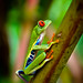 The Red-Eyed Leaf (Tree) Frog of Costa Rica [ShotHotspot.com] by ShotHotspot.com